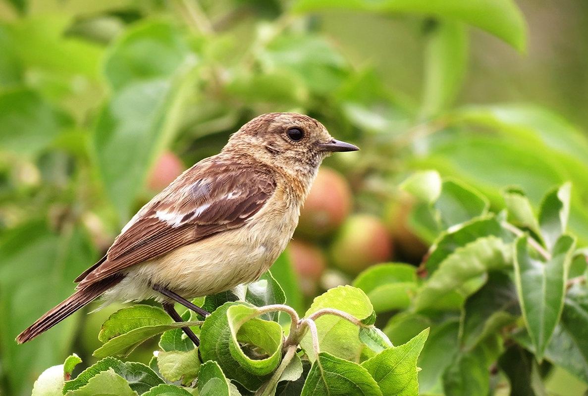 Птичка на ветке яблони - Екатерина Торганская