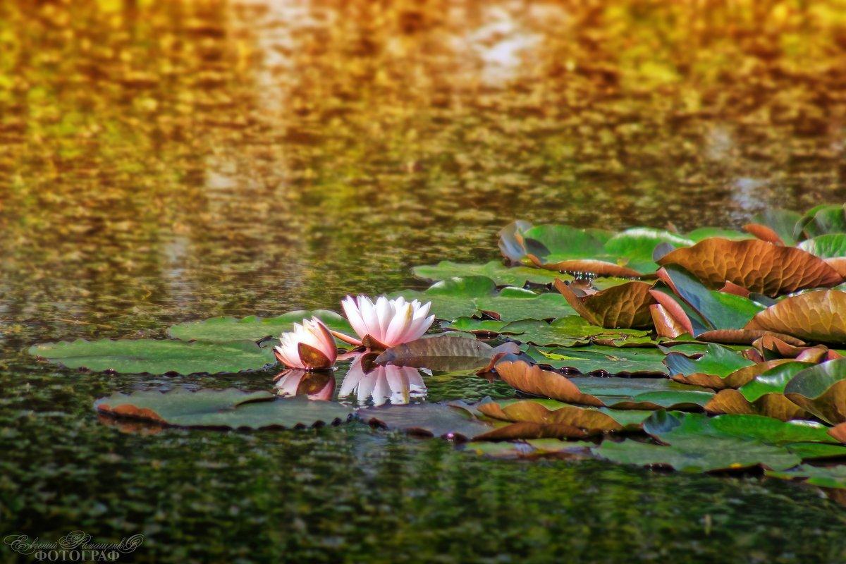 Очаровательная и нежная белая кувшинка (Nymphaea alba-rosea) ...Монастырское озеро под Бештау... г. - Евгений Ромащенко