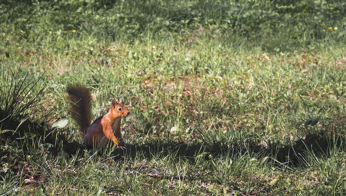 Squirrel - Илья В.
