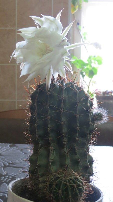 И даже кактус расцветает от любви... Фото  Валерии Черноситовой - Yulia Deimos