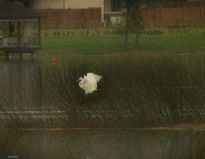 Белая цапля - Михаил Цегалко