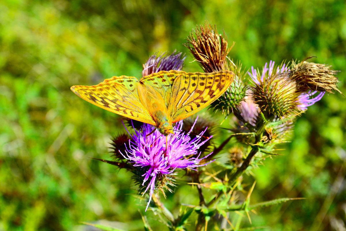 Бабочка на расторопше - Виктор Шандыбин