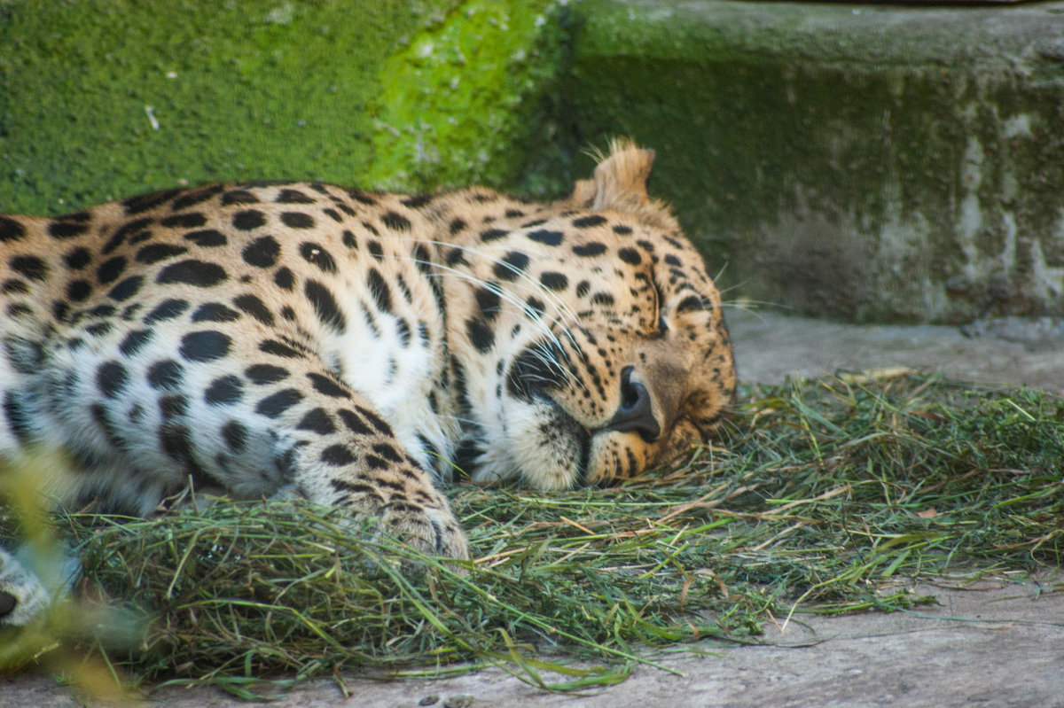 леопард - EDO Бабурин