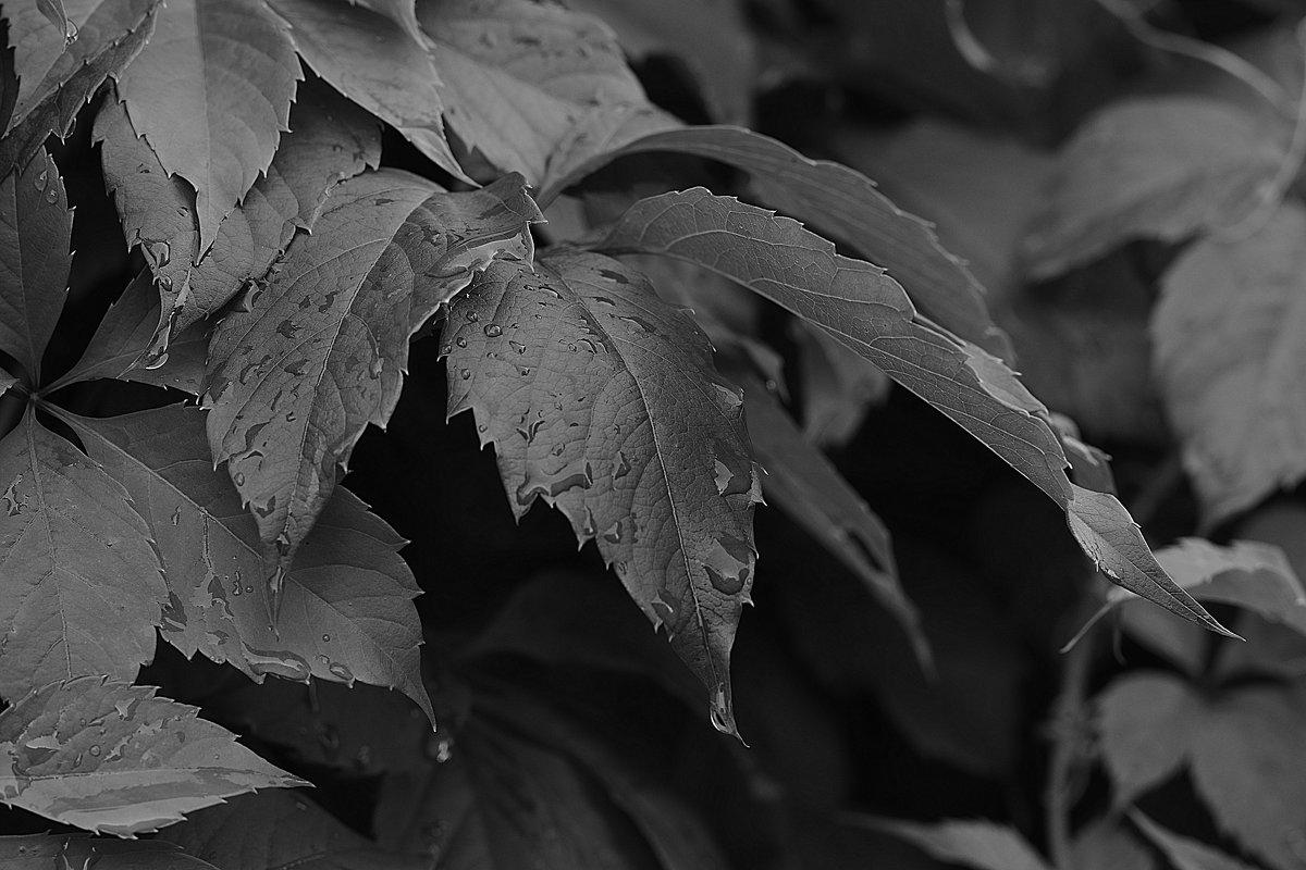 Листья винограда - Александр Сидоров