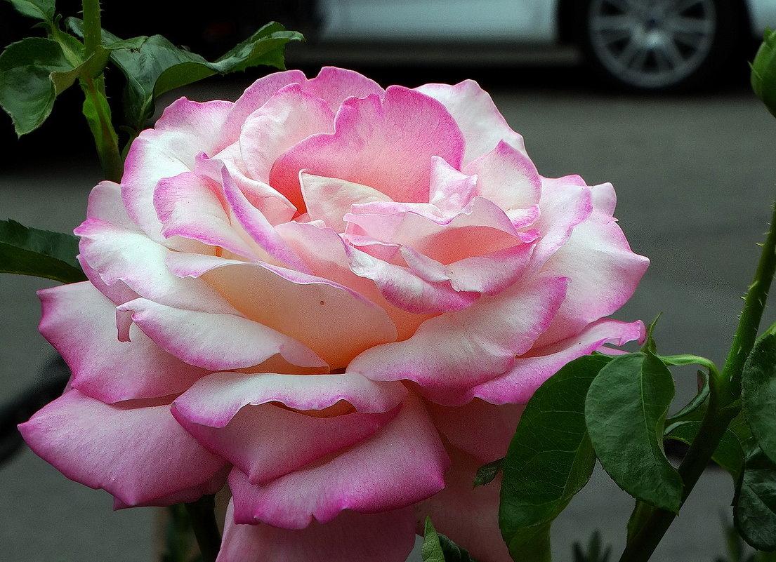 Городская  роза - Владимир Бровко