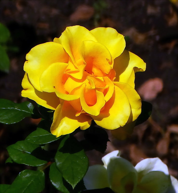 Желтая  роза - Владимир Бровко