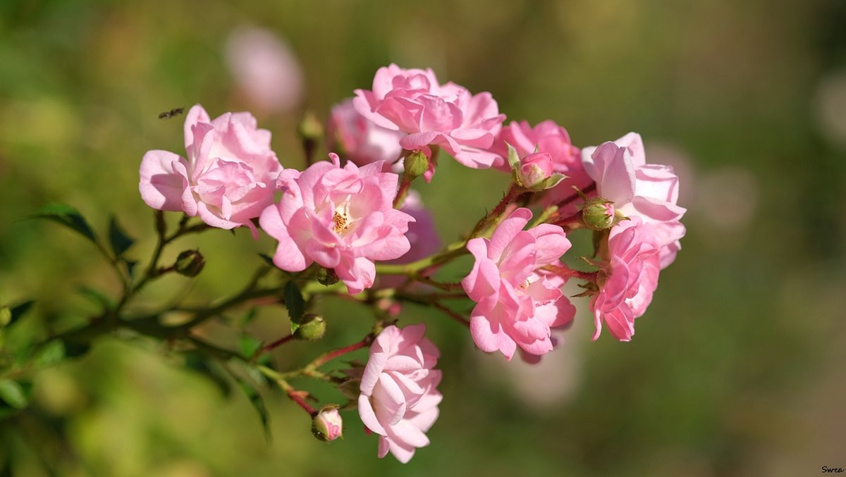 "Rosa Polyantha ""The Fairy"" - Swetlana V"