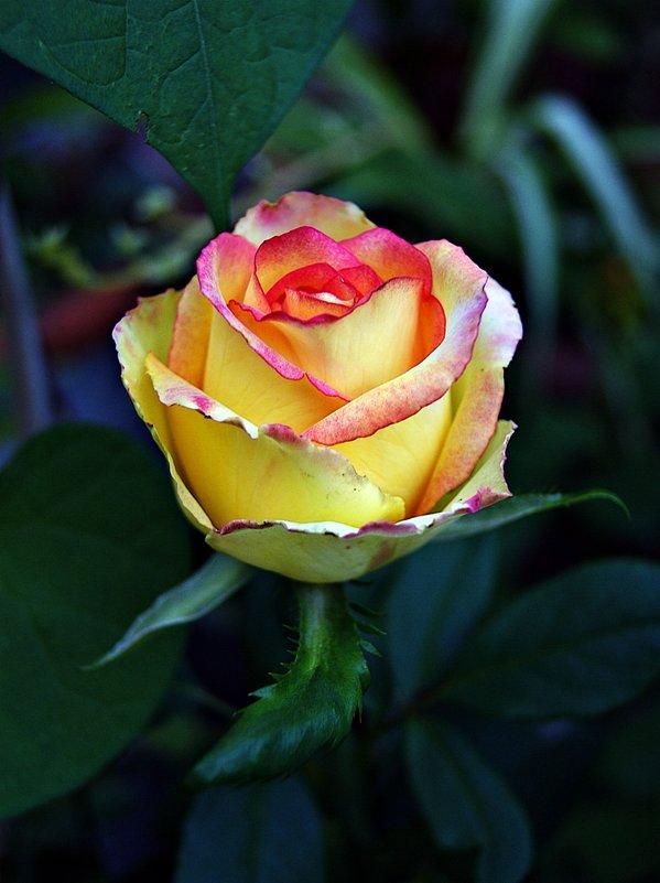 сентябрьская роза - Александр Корчемный