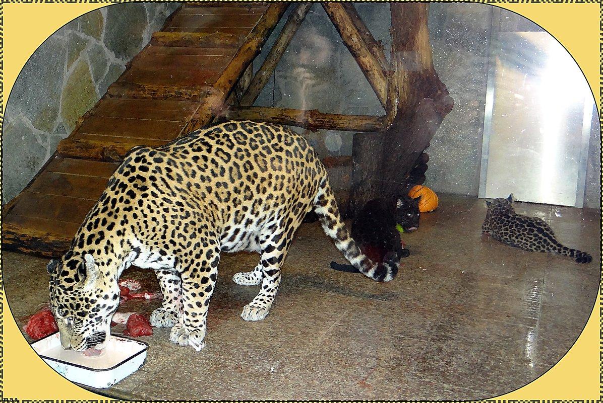 Семейство ягуаров - Вера