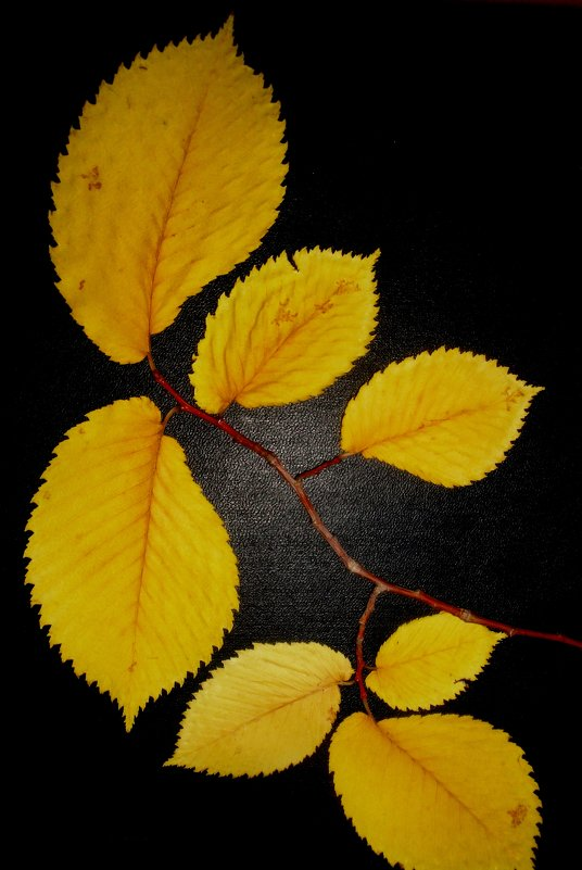 Ветка для гербария - Лебедев Виктгр