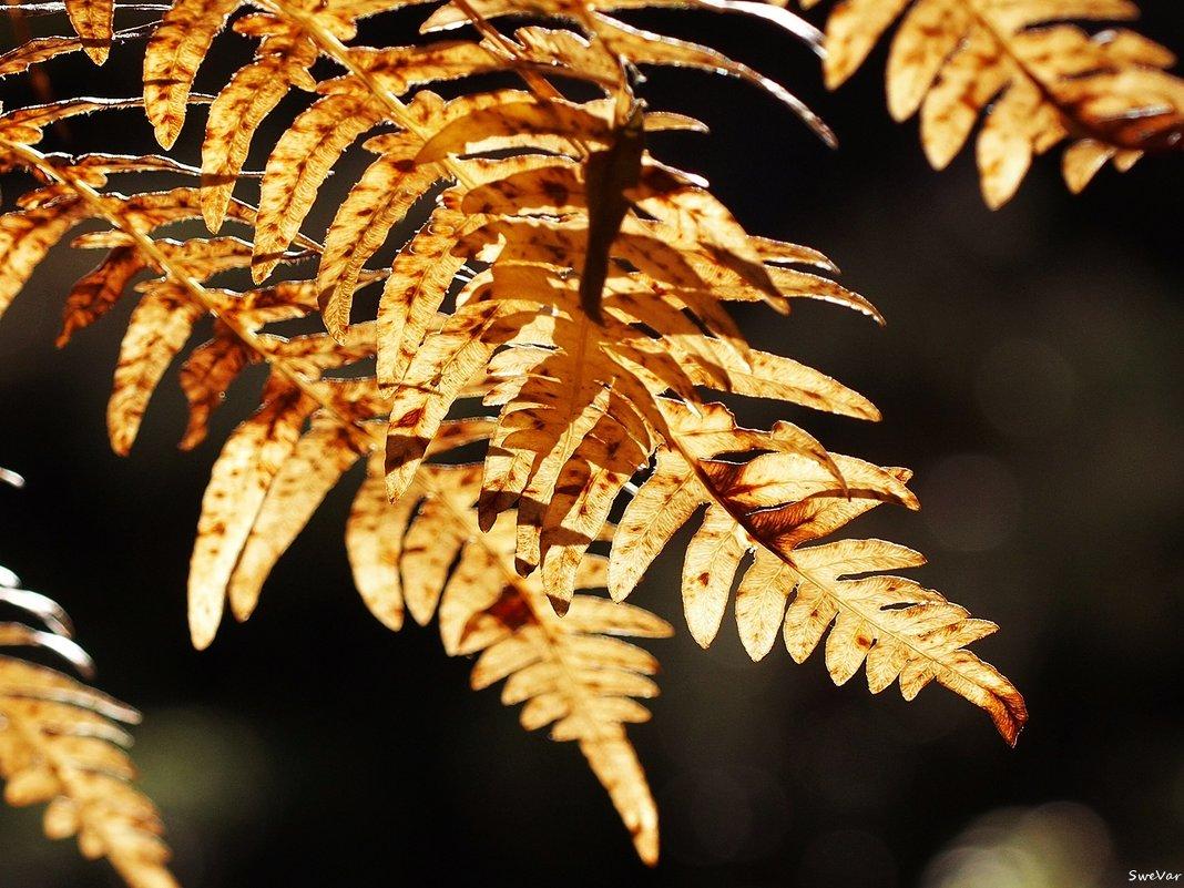 Опаленные осенью - Swetlana V