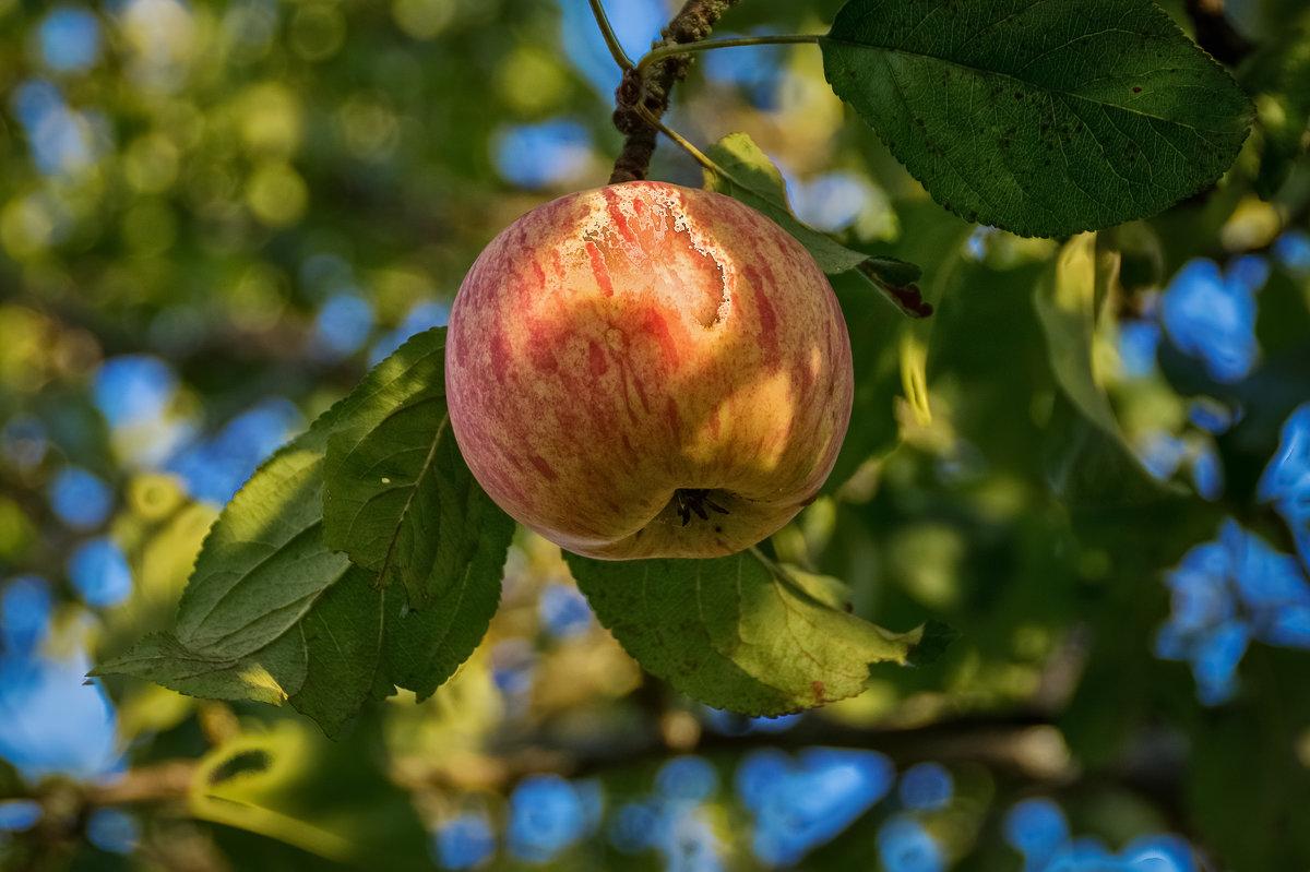 Осеннее яблоко - Андрей Дворников