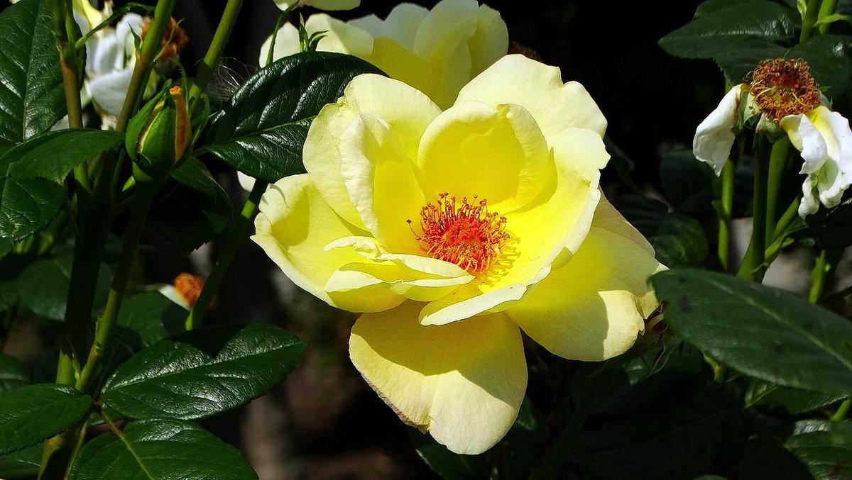 Осенняя роза Фото №2 - Владимир Бровко