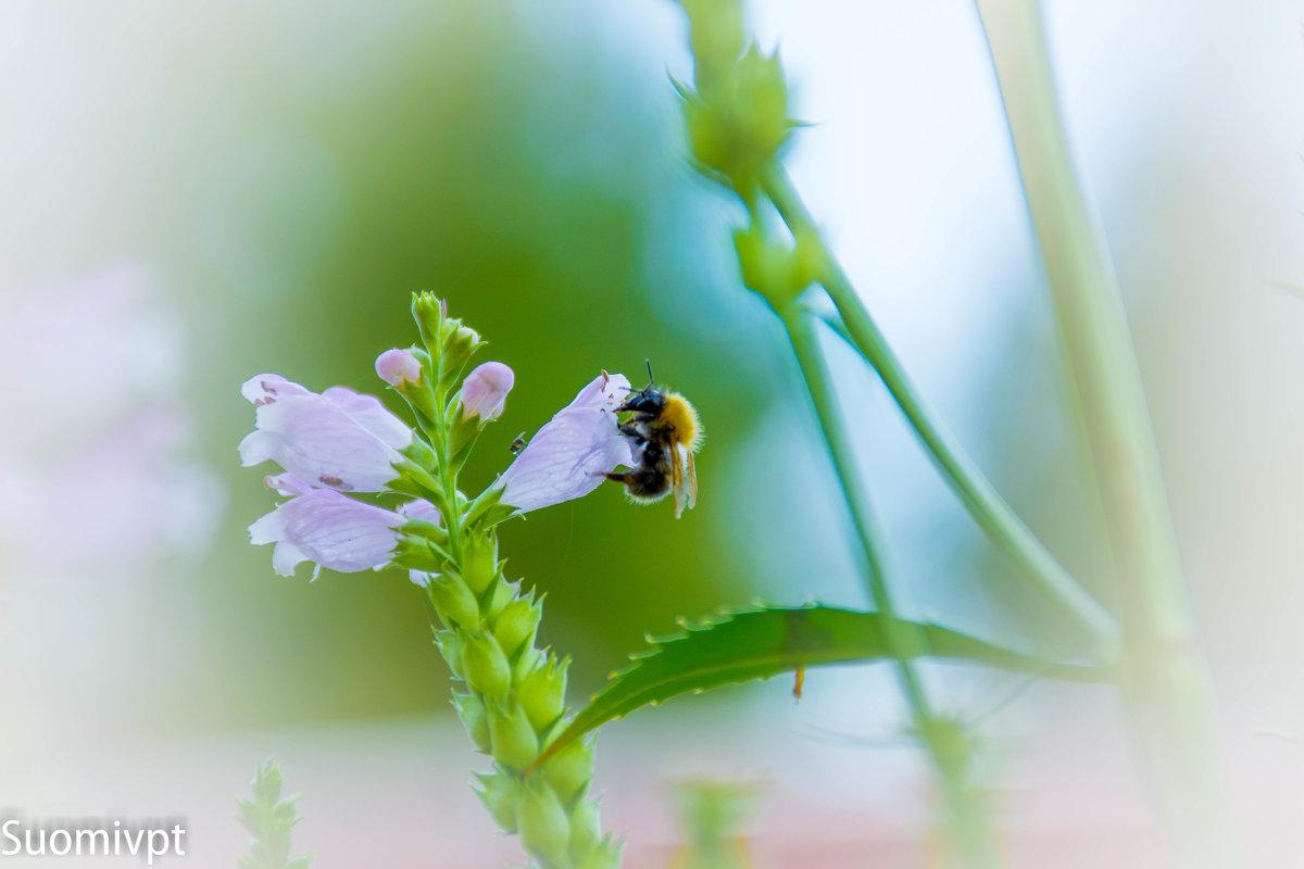 Пчела на цветке - Михаил Ананьев
