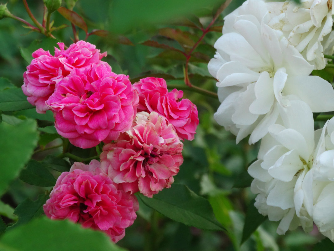 Сентябрь,вечер,розы... - Тамара (st.tamara)