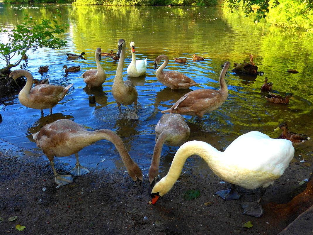 Лебединое озеро (серия) Трио и компания - Nina Yudicheva