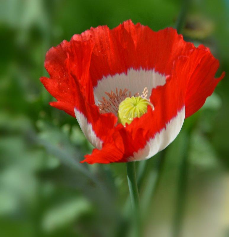 Маки это те цветы, в  которых нежность и пламя любви... - Ольга Русанова (olg-rusanowa2010)