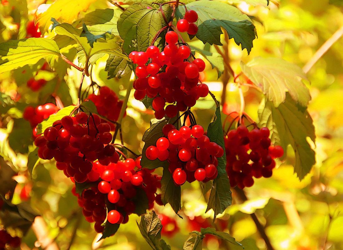 Осенние гроздья - Alexander