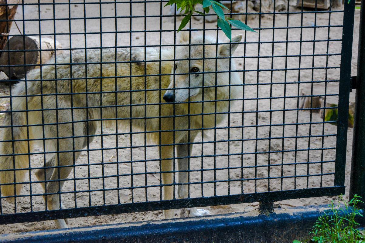 волк в клетки - Света Кондрашова