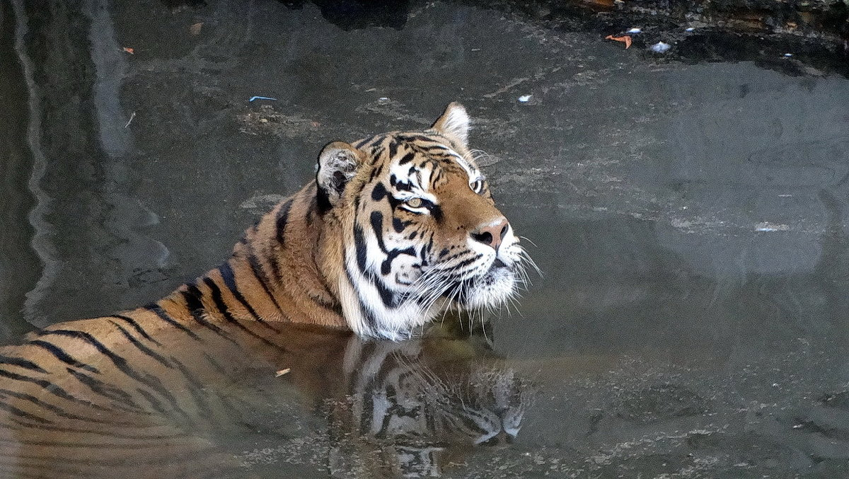 Купающийся тигр Фото №2 - Владимир Бровко