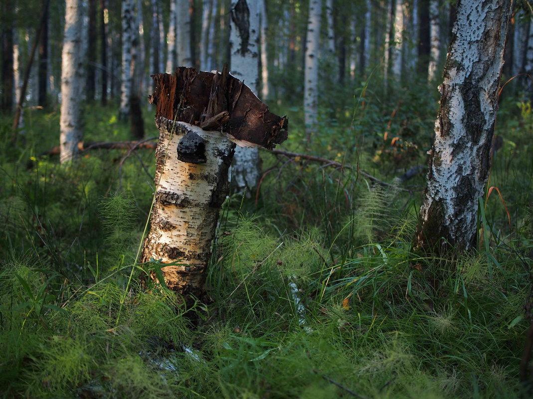 Ещё не очень старый стоит пенёк в лесу... - Александр Попов
