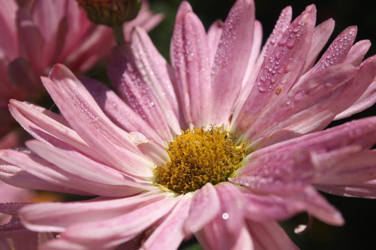 розовое лето - анастасия артемьева