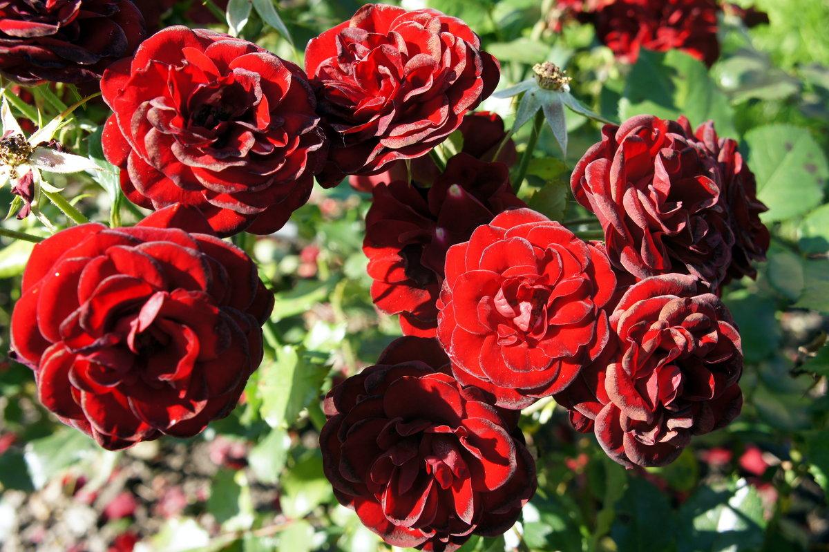 "Роза ""Lavaglut"".  Группа флорибунда розы - Елена Смолова"