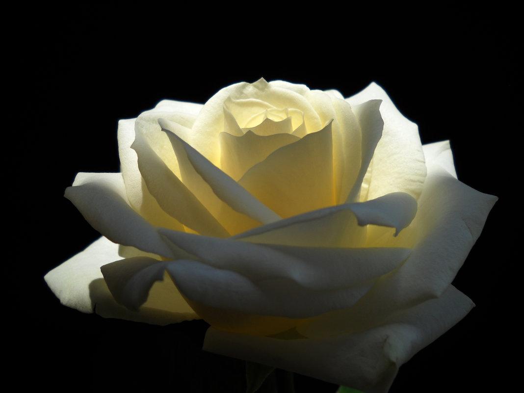 Роза - Victoria