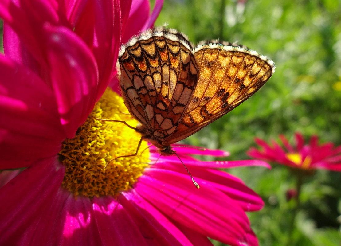 Прозрачных крыльев бархатный размах к цветку стремится в нежные объятья... - Елена Ярова