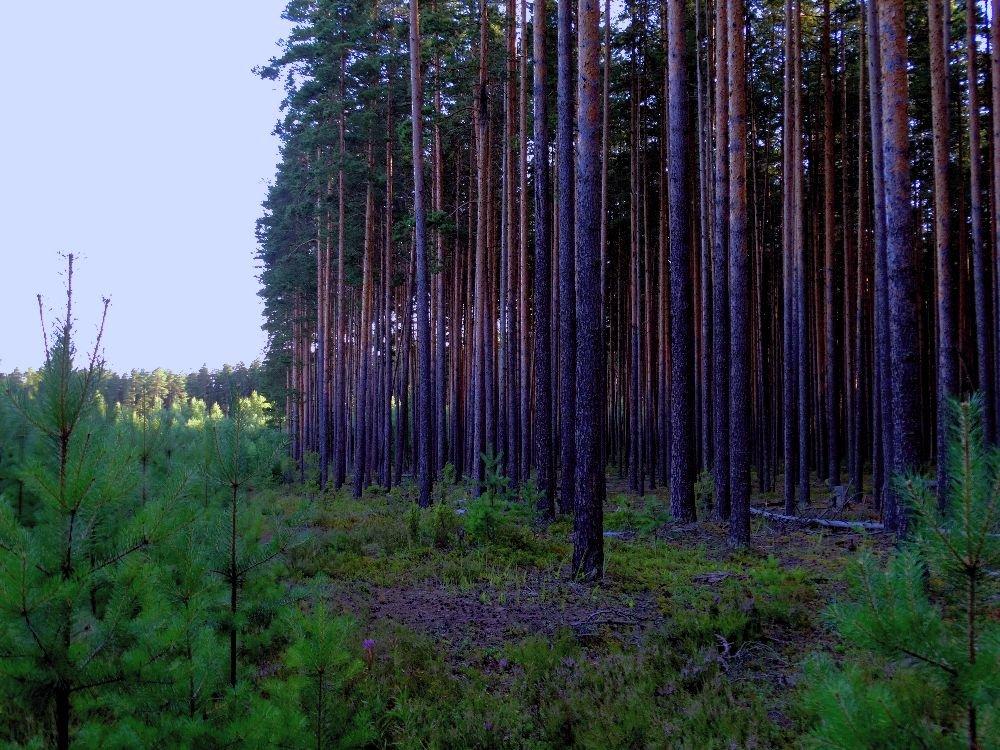 Корабельный лес - Светлана Лысенко