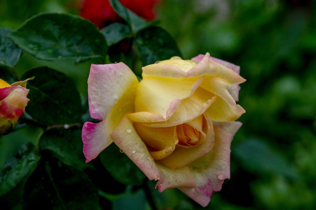 розы в моем саду - Елена Митряйкина