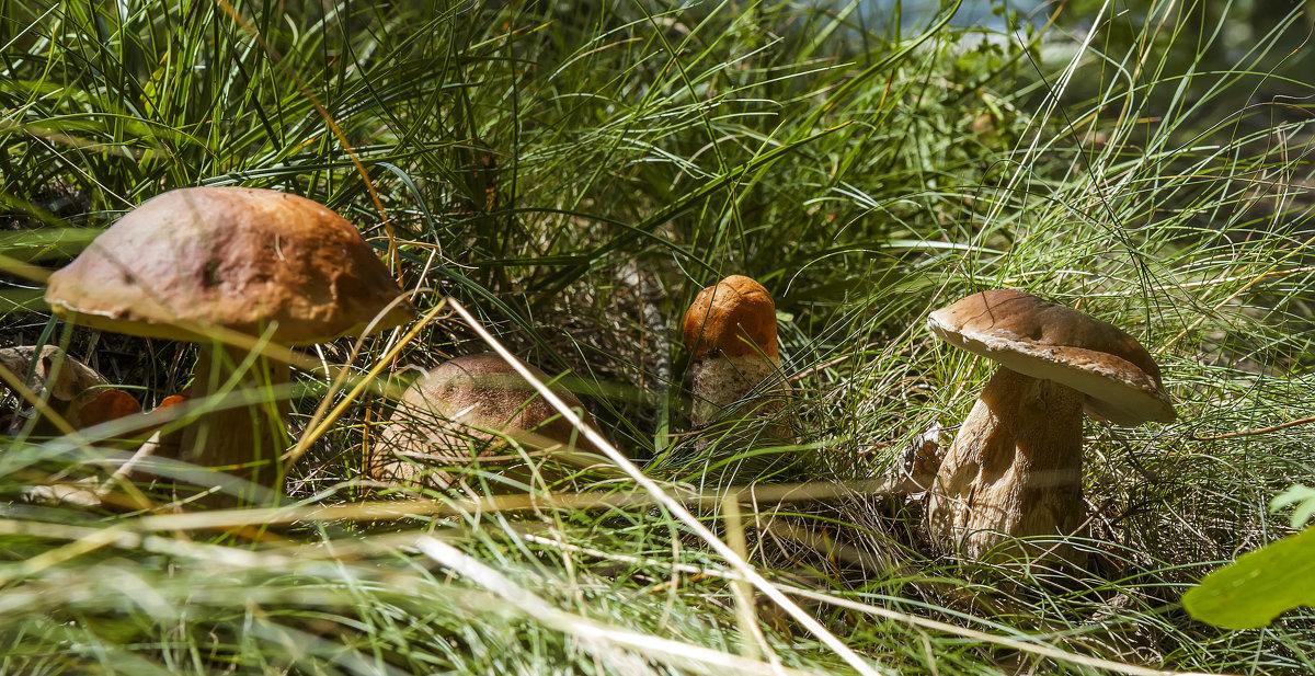 Эх, грибочки, мои грибочки - leo yagonen