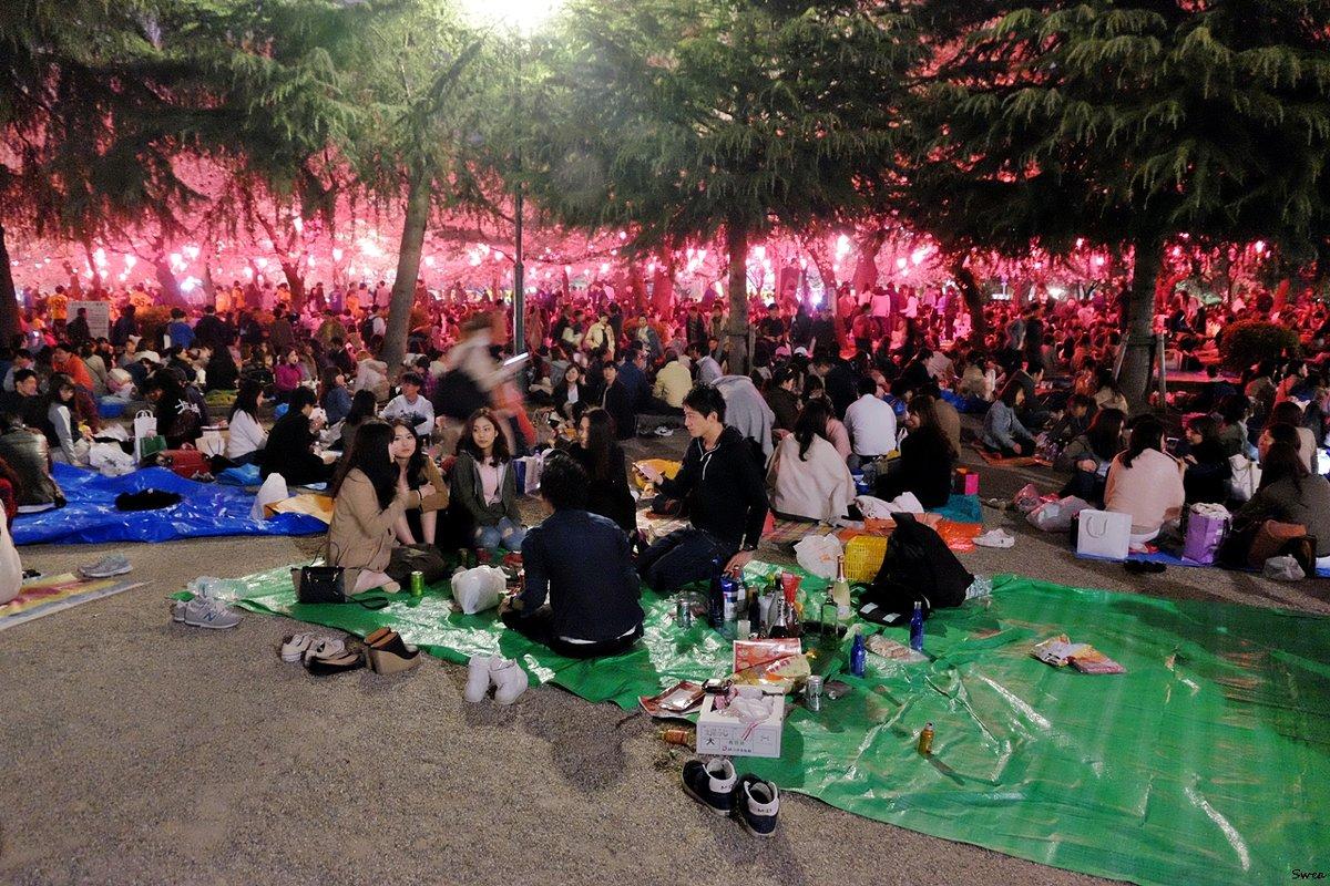 Пикники во время цветения сакуры - Swetlana V