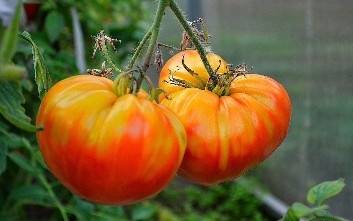 Урожай томатов - Милешкин Владимир Алексеевич