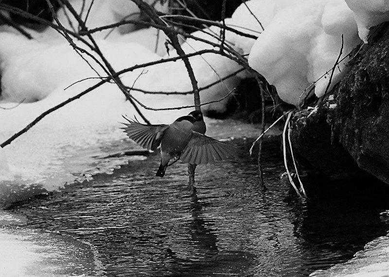 Снегири купаются в ледяной купели - Екатерина Торганская