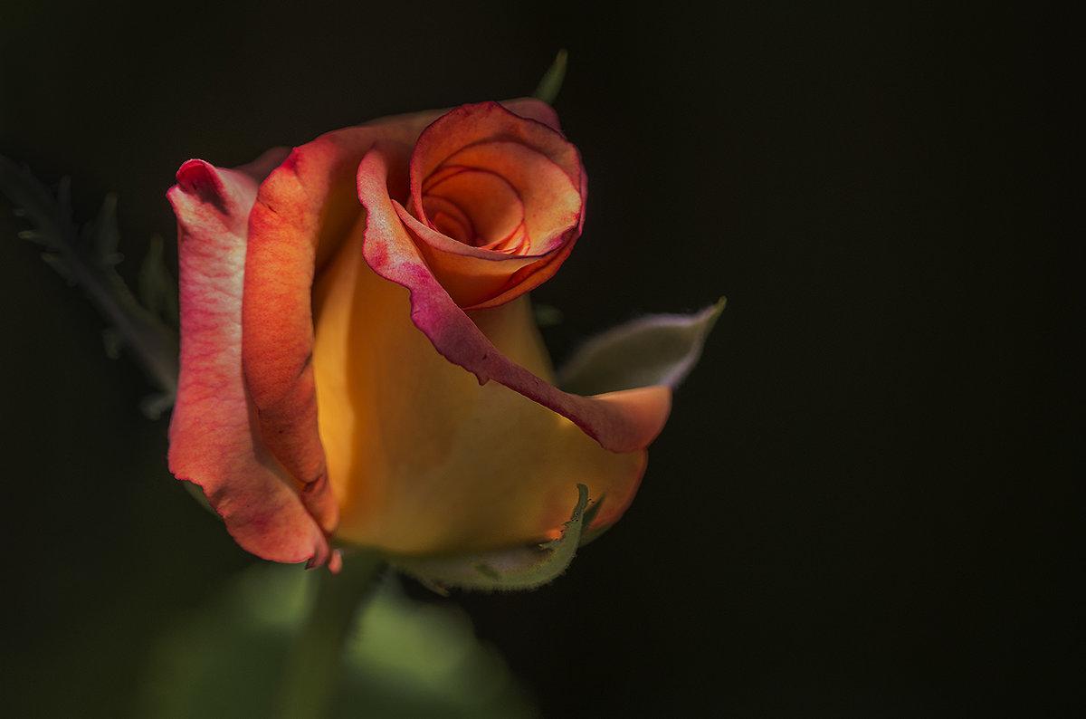 просто роза - Александр