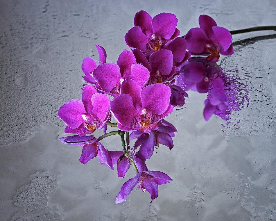 Орхидея фаленопсис - Ирина Приходько