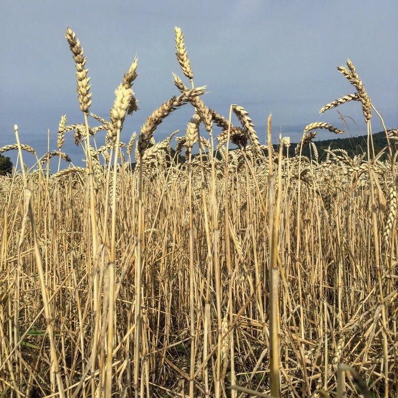 Пшеничное поле, Гренна, Швеция - Ольга Пронина