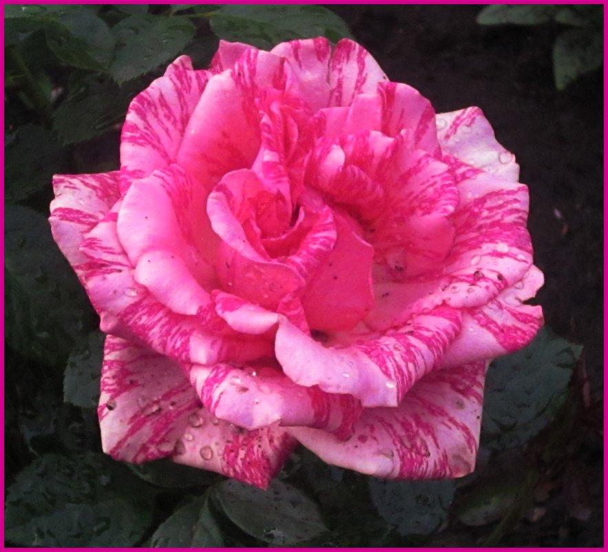 Роза - Надежда