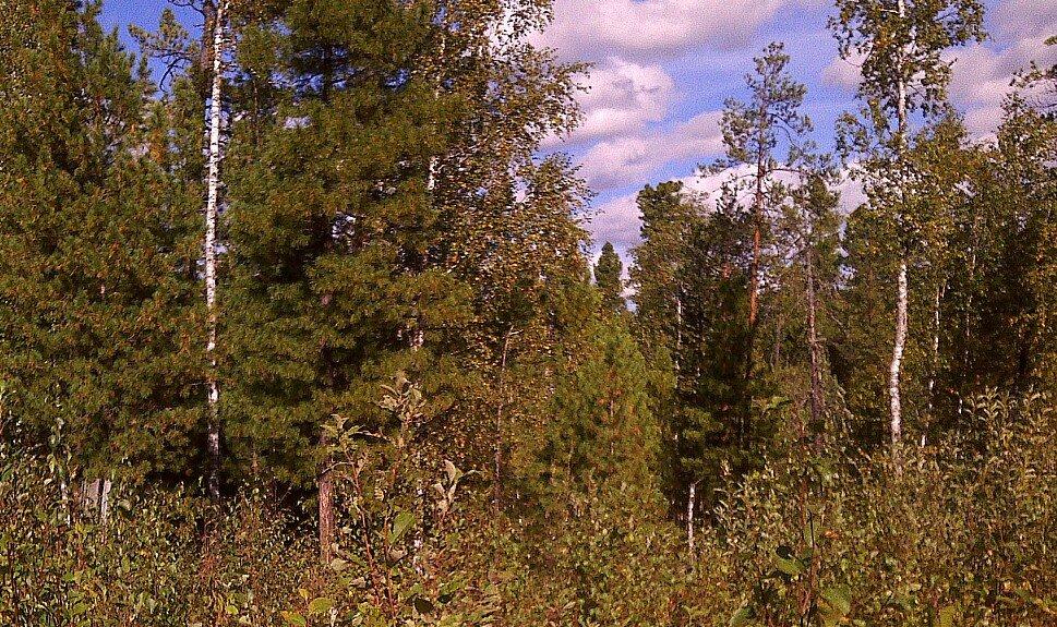 Таежный лес - Елена *