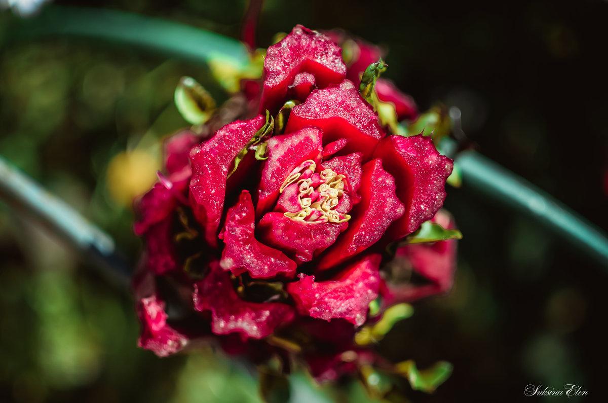 невиданный цветок - Елена Суксина
