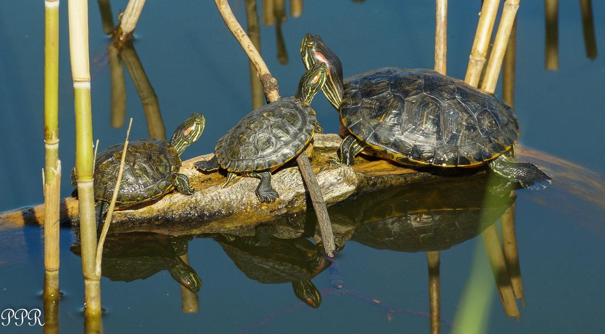 Красноухая черепаха - Павел Руденко