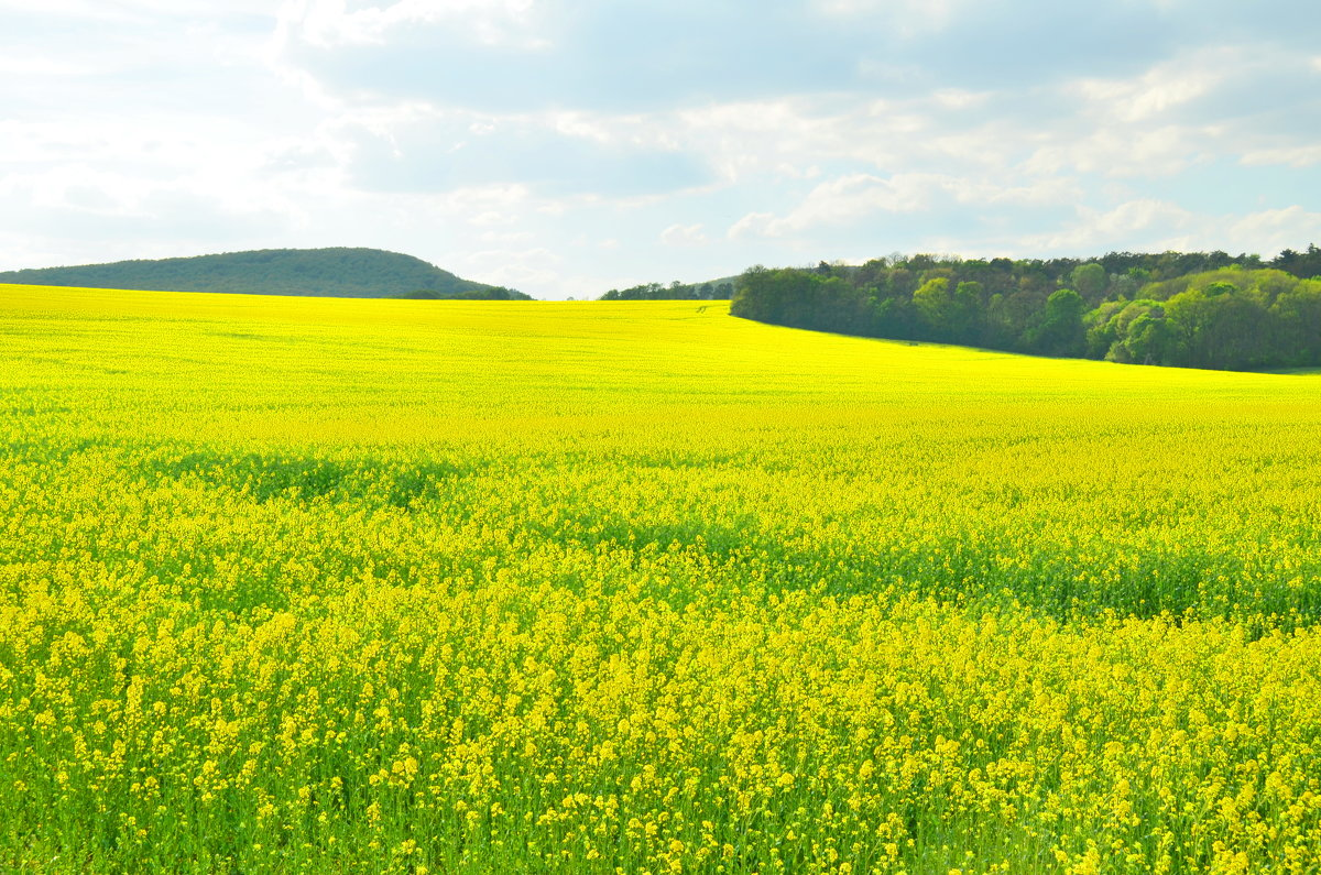 Желтые поля - Николай Танаев