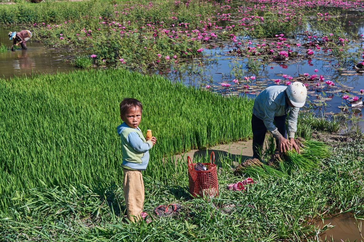 Вьетнам. Озеро лотосов и рисовые делянки - Минихан Сафин