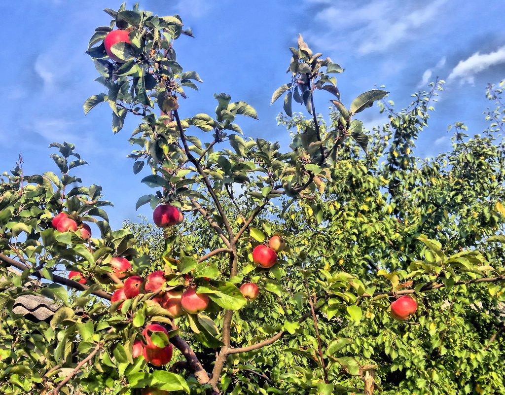 Щедрая осень. Высоко на дереве яблоки созрели,солнышком напитаны спелые бока. - Валентина ツ ღ✿ღ