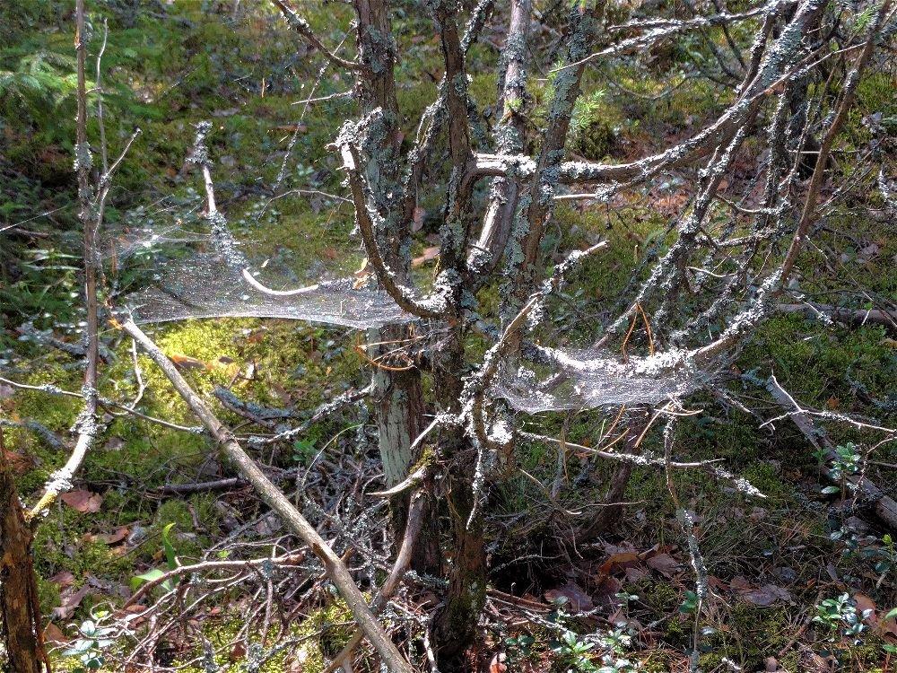 Паутиновое дерево - Svetlana27