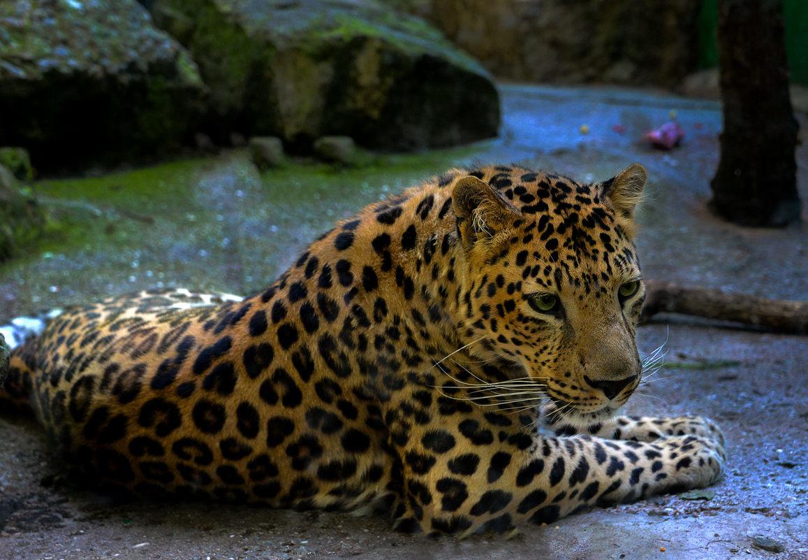 леопард - alex graf