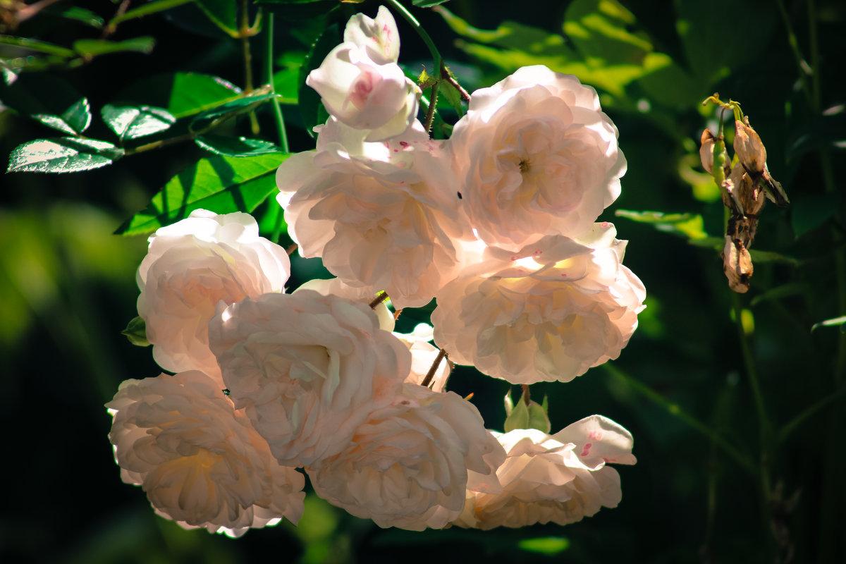 Розы - Татьяна Пилипушко