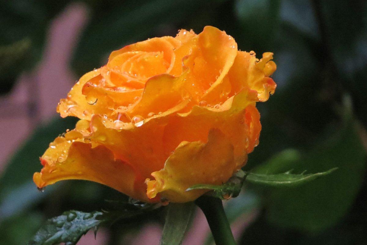 озябшая роза - валя