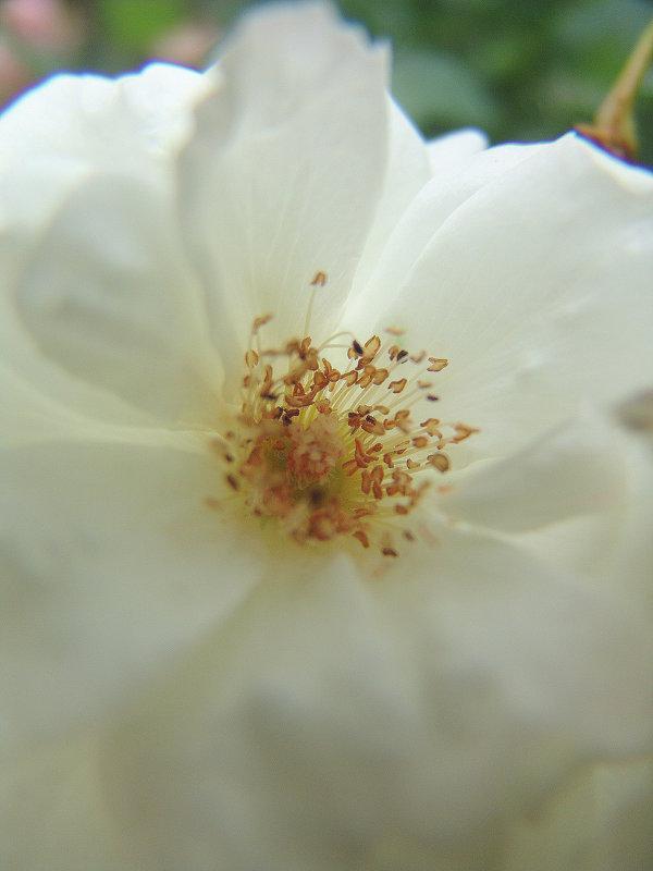 Белый цветик. - Оля Богданович